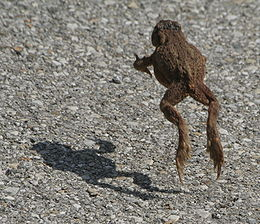 260px-Toad_jumping
