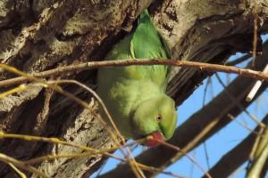 halsbandparkiet komt uit nest