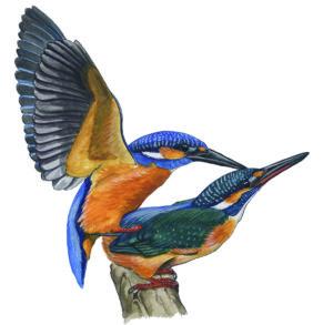 IJsvogels-parend-10564-ori