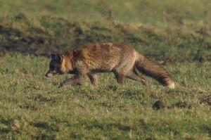 oostvaarderplassen vos